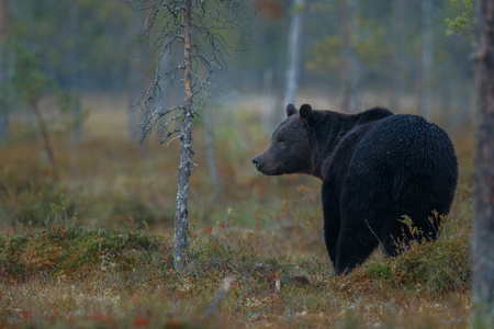 Sloth bear in its nature habitat