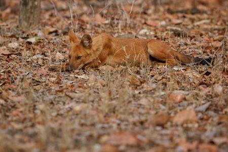 Indian dog on dry ground Stock Photo