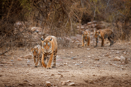Bengal tigers from Ranthambhore National Park in India Banco de Imagens - 77227367