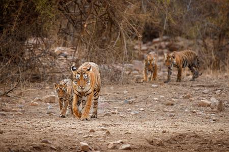 Bengale tijgers van Ranthambhore National Park in India