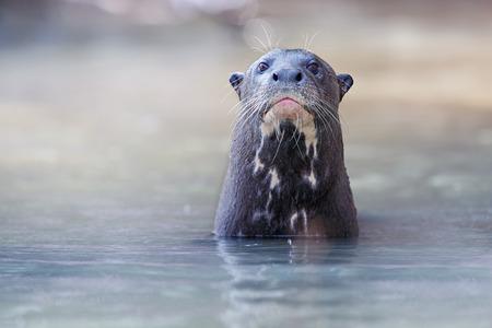 Giant river otter in natural habitat of wild Brasil Banco de Imagens
