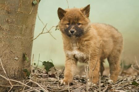 Cute dingo puppy in the dry habitat Stock Photo