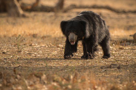 Sloth bear in its natural habitat Stock Photo