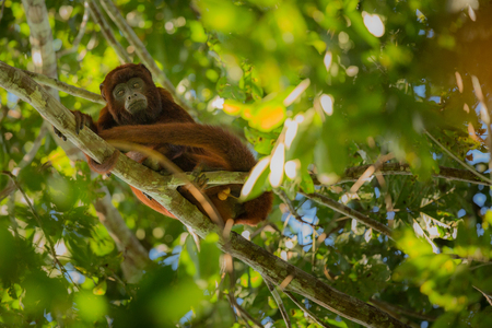 Howler monkey on a tree in their natural habitat