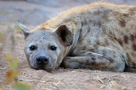Hyena in natural habitat Stock Photo