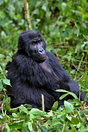 Gorilla in an African jungle