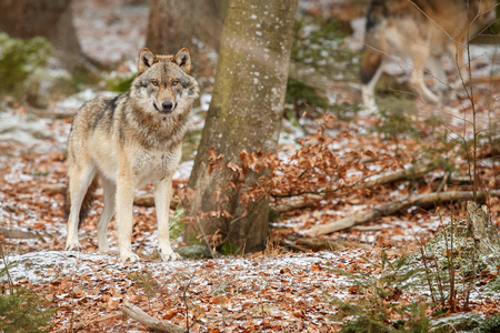 Eurasian wolf in natural habitat in Bavarian forest Фото со стока