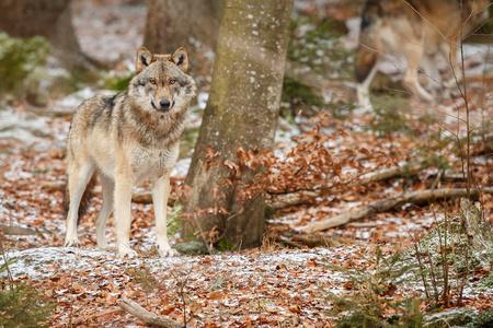 Eurazische wolf in natuurlijke habitat in Beierse woud
