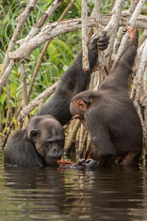 chimpances: Chimpancés nadando en su hábitat natural