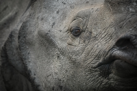 자연 서식지에서 멸종 위기에 처한 인도 코뿔소의 닫습니다