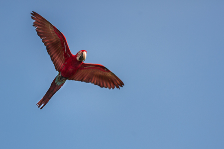 Red macaw flying in natural habitat Stock Photo