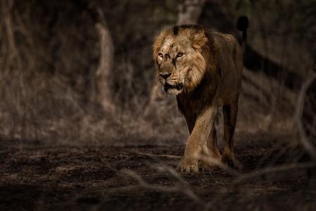 gir: Lion in natural habitat