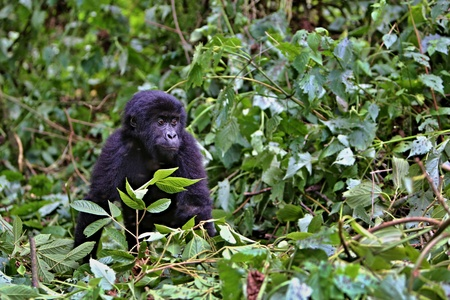 Beautiful and wild baby lowland gorilla in the natural habitat