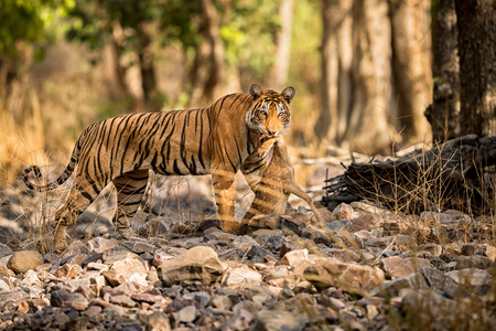Bengal tiger from Ranthambhore National Park in India