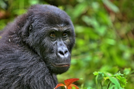 Beautiful and wild lowland gorilla in the natural habitat Stock Photo