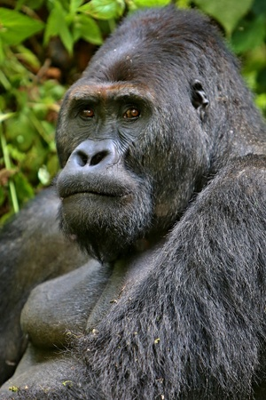 Beautiful and wild lowland gorilla in the natural habitat Stock Photo