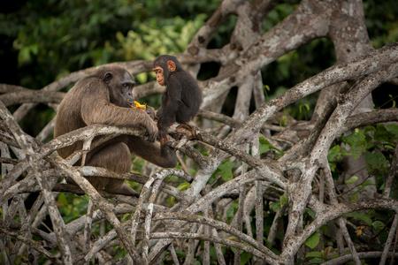 chimpances: Chimpancés, árbol, ramas