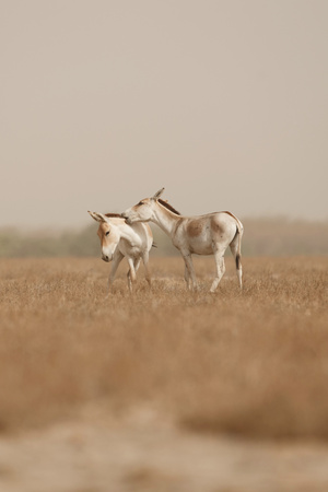 Wild donkeys in the desert
