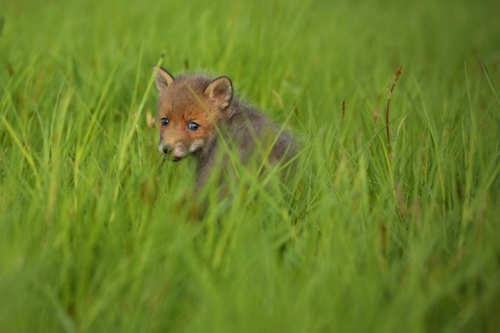 Baby red fox in grass