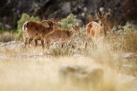 Spanish ibex young male and female with young in natural habitat Stock Photo