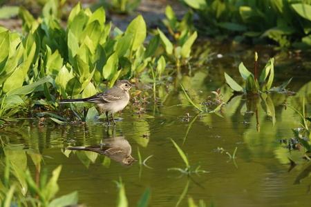 Beautiful European Water Bird in Natural Habitat