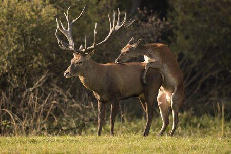 maleza: Stag and deer in natural habitat Foto de archivo