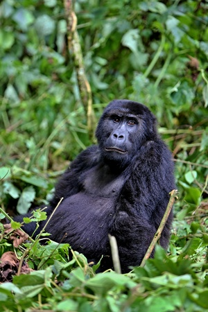 Endangered eastern gorilla in the beauty of african jungle Stock Photo