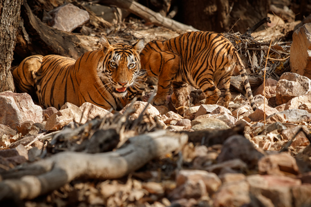tigress: Tigress with her cub in natural habitat Stock Photo