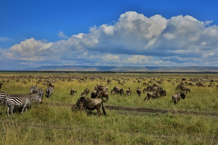 Great migration of wildebeest and zebras in Masai Mara, Kenya, Tanzania, Africa