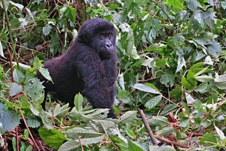 Eastern gorilla in the beauty of African jungle
