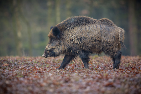 Wild boars in the European forest Stock Photo