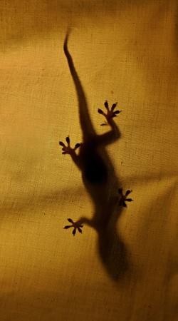 small reptiles: Gecko behind clothe