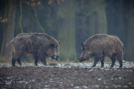 Wild boars in the european forest