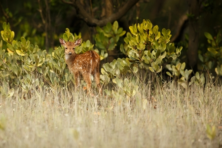 Beautiful axis deer from Sundarbans in India