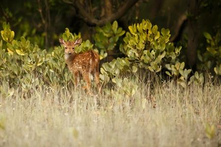 cervus: Beautiful axis deer from Sundarbans in India