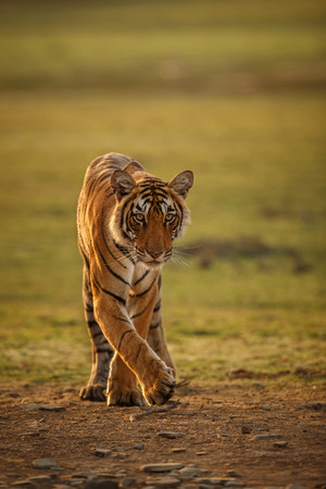 tigresa: Tiger in a beautiful golden light in Ranthambhore National Park in India.
