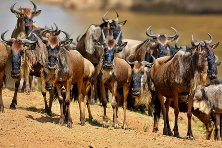 Great migration of wildebeests in Masai Mara, Kenya, Africa