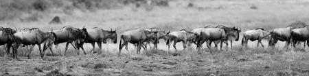 Great migration of wildebeests in Masai Mara, Kenya, Africa