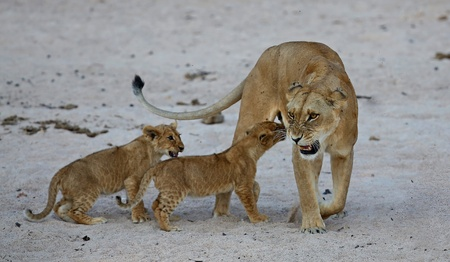 Lioness with cubs resting on the sand Фото со стока