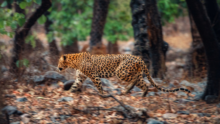 Indian leopard on the move