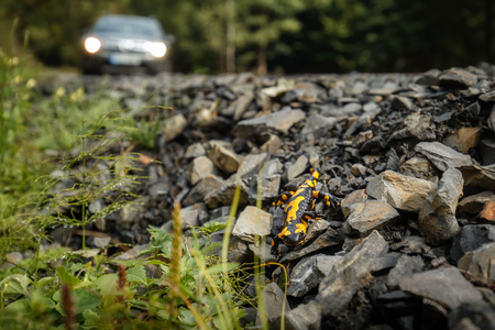 Fire salamander on pebbles