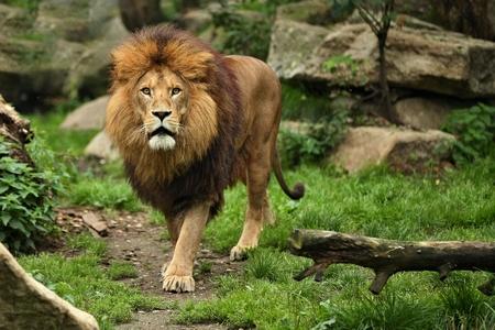 Leão macho asiático em um habitat natural do Parque Nacional de Gir na Índia