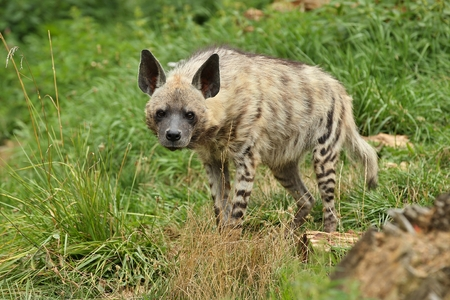 Brown hyena walking in the wild