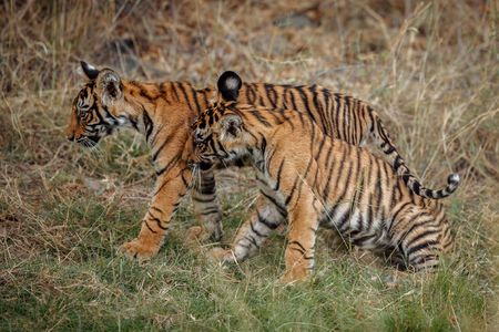 Tiger cubs in the wild Stock Photo