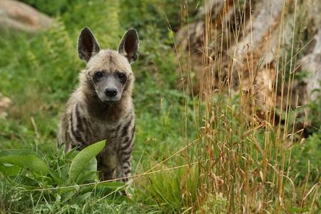 Brown hyena in the wild Foto de archivo
