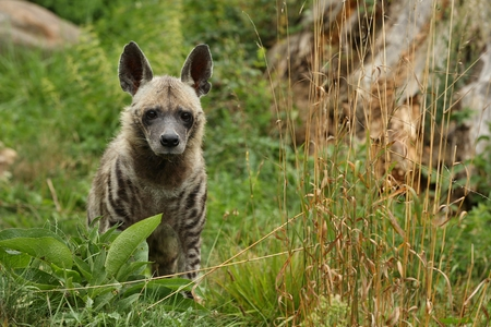 Brown hyena in the wild Banque d'images