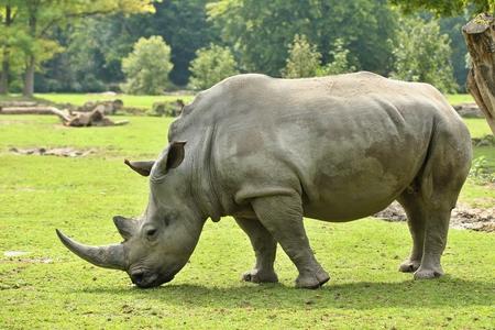 Rhinoceros in a field Reklamní fotografie