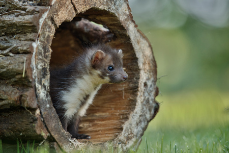 Beech marten hiding in a log