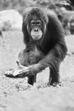 Bornean orangutan in the wild