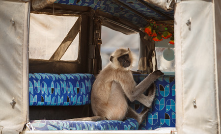 Indian langur monkey in the car